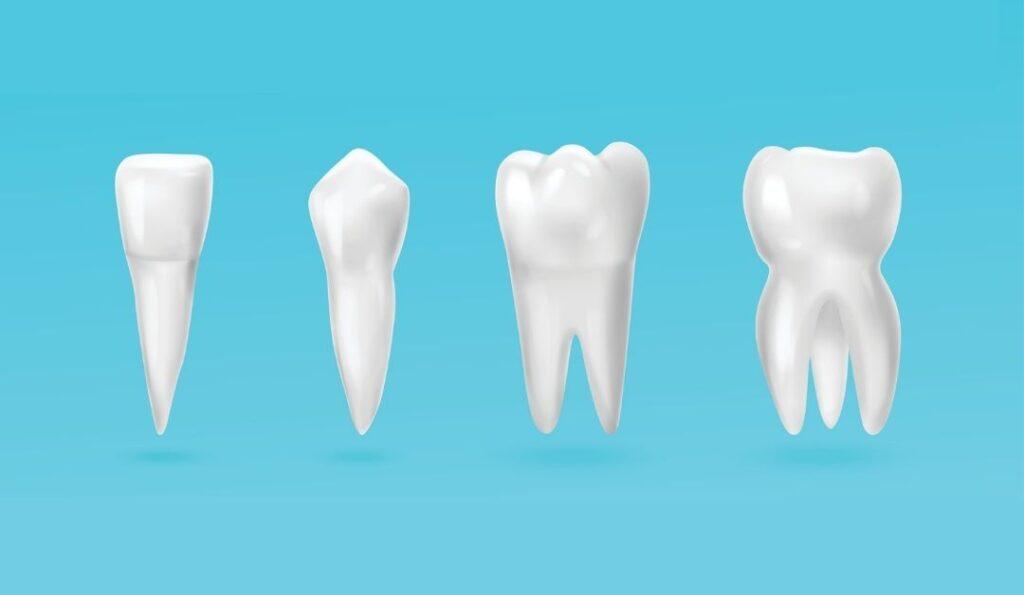 tipos de dientes y su funcion